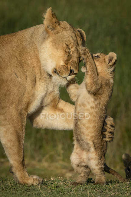 Close-up of lion cub on hind legs pawing lioness, blurred background — Stock Photo