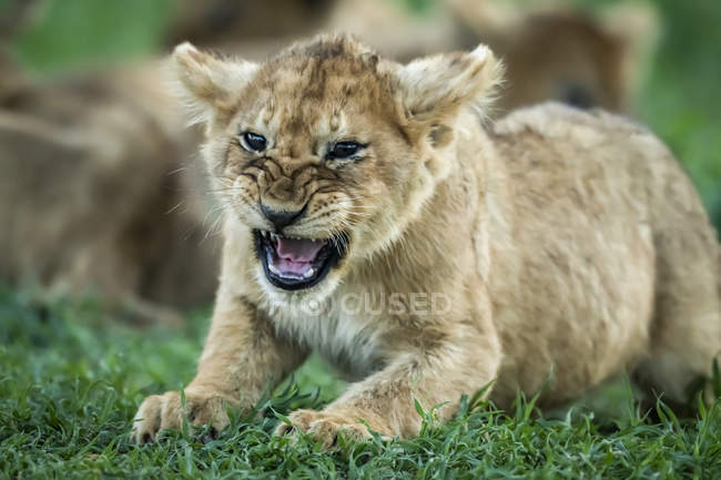 Close-up view of lion cub growling on grass — Stock Photo