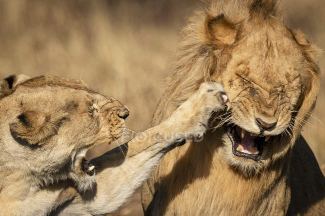 Close-up view of lioness slapping male with paw — Stock Photo
