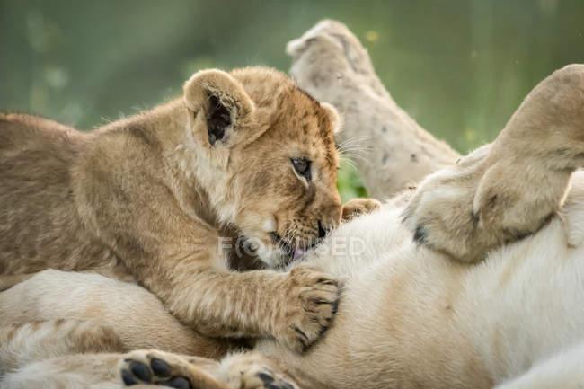 Крупним планом левиця на спині з молочний куб — стокове фото