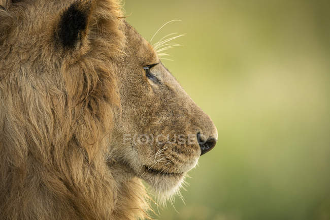 Close-up view of male lion head in profile, blurred — Stock Photo