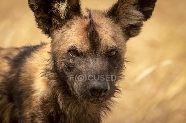 Cierre del perro silvestre (pictus de limón) que se encuentra en la hierba, Parque Nacional Serengeti; Tanzania. - foto de stock