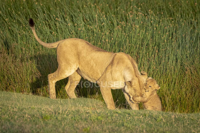 Lion ourson saisissant la tête de la lionne sur l'herbe — Photo de stock