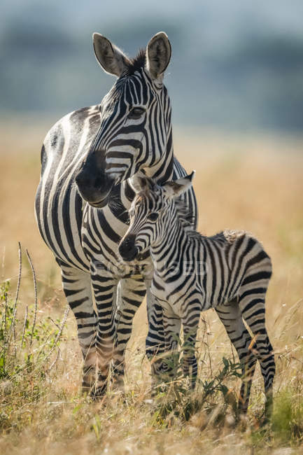 Plains zebra stands eyeing camera with foal at wild life — Stock Photo