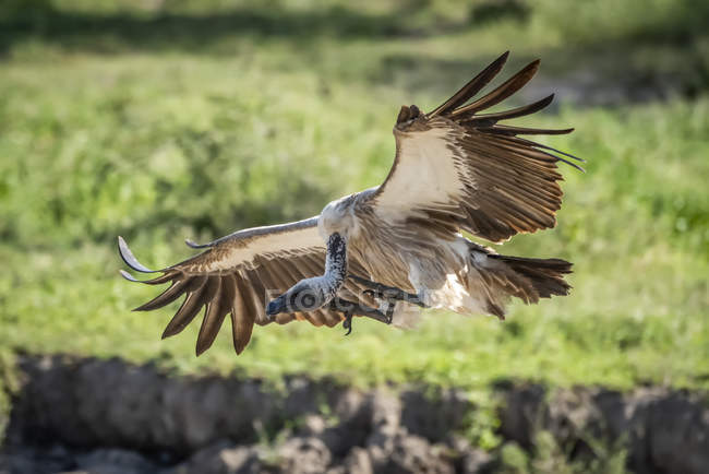 Ruppell griffon vulture lands with wings spread — Foto stock