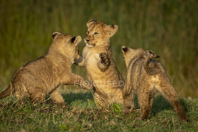 Drei Löwenjungen kämpfen auf Gras, Serengeti-Nationalpark; Tansania — Stockfoto