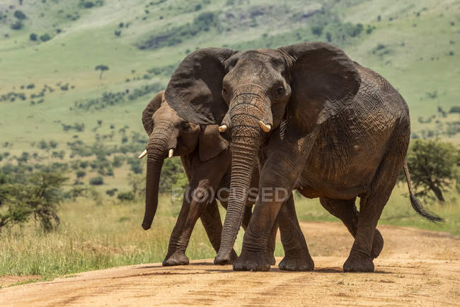 Beautiful grey African elephants in wild nature, Serengeti National Park; Tanzania — Stock Photo
