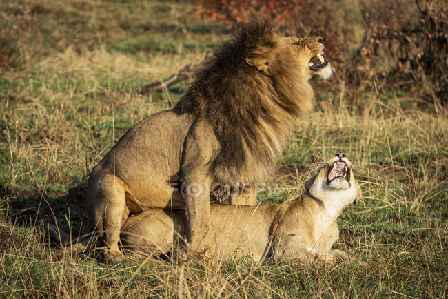 Two mating lions growling at each other, Serengeti National Park; Tanzania — Photo de stock