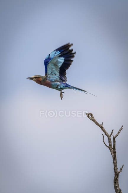 Lilac-breasted roller flying away from dead branch — стокове фото