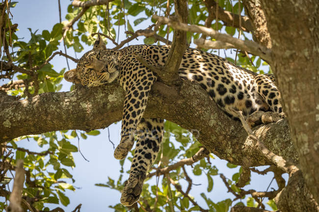 Scenic view of majestic leopard in wild nature on tree — Stock Photo