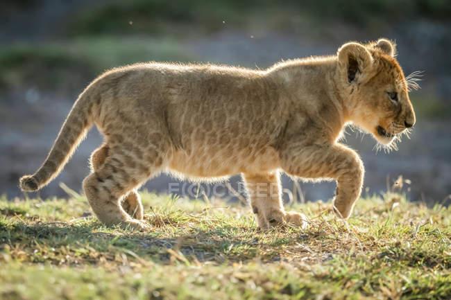 Lion cub backlit lifts foot to walk, Serengeti National Park; Tanzania — Fotografia de Stock