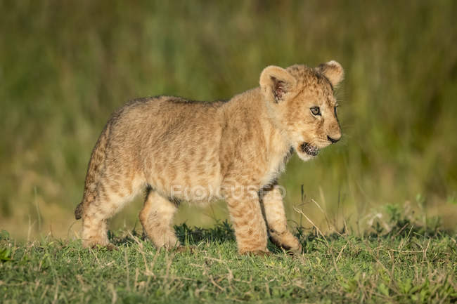 Lion cub cute at wild nature — Stock Photo