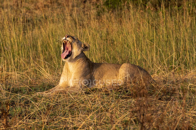 Lioness lying and yawning in grass facing left — Photo de stock