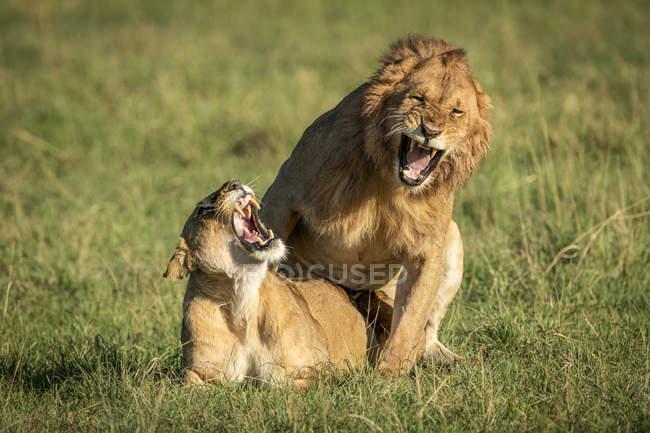 Чоловічий і жіночий леви рев під час спаровування, Національний Парк Серенгеті; Танзанії — стокове фото