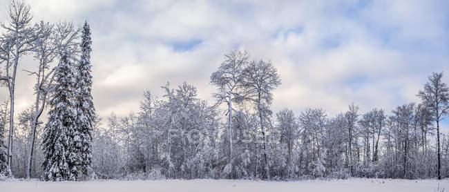 Засніжені дерева в лісі взимку; Тандер-Бей, Онтаріо, Канада — стокове фото
