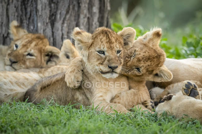 Lion cubs cute at wild life — Stock Photo