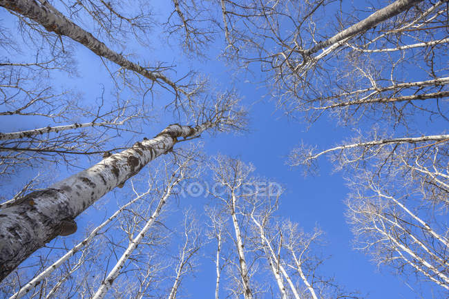 View of the leafless treetops and blue sky; Thunder Bay, Ontario, Canada — Stock Photo