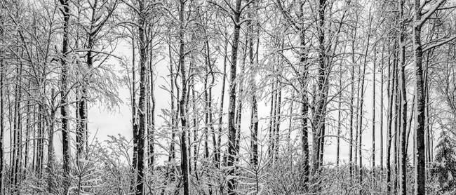 Alberi senza foglie innevati in inverno; Thunder Bay, Ontario, Canada — Foto stock
