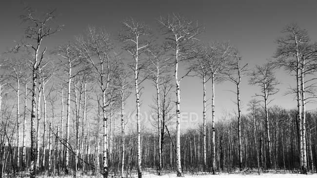 Заснеженные лиственные деревья зимой; Thunder Bay, Онтарио, Канада — стоковое фото
