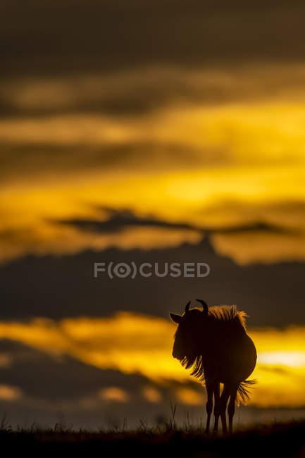 Malerische Aussicht auf majestätische blaue Gnus gegen Sonnenuntergang in wilder Natur — Stockfoto