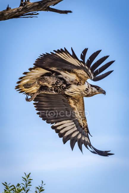 Águila Juvenil de pescado africano (Haliaeetus vocifer) volando desde el árbol, Serengeti, Tanzania. - foto de stock