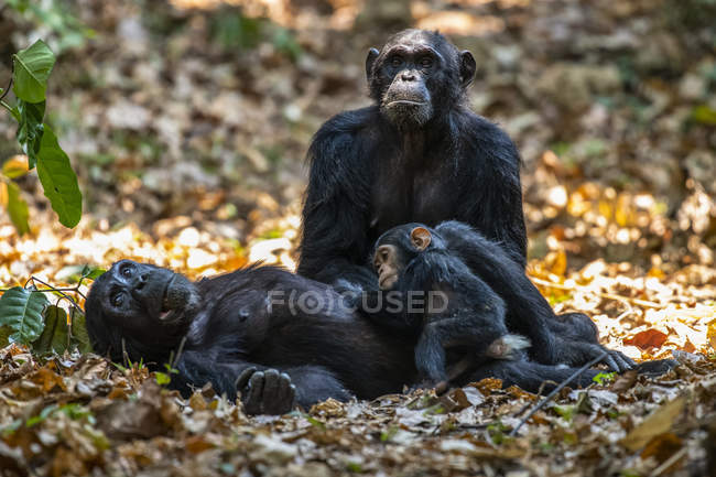 Female Chimpanzee (Pan troglodytes) lying on her back with baby while another female Chimpanzee looking on in Mahale Mountains National Park on the shores of Lake Tanganyika ; Tanzanie — Photo de stock