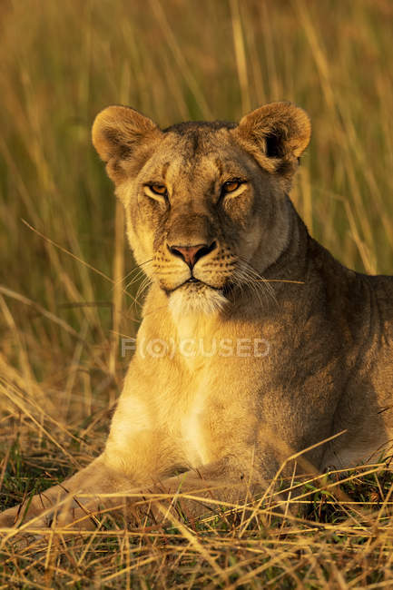 Majestic lioness or panthera leo at wild life lying in grass — стоковое фото