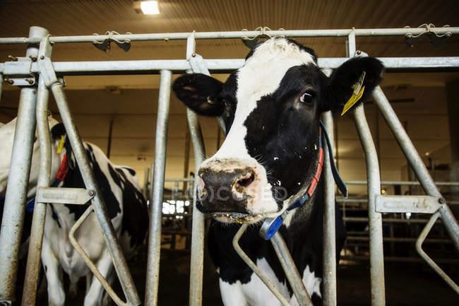 Vaca lechera Holstein mirando la cámara mientras estaba de pie en una fila a lo largo del carril de una estación de alimentación en una granja lechera robótica, al norte de Edmonton; Alberta, Canadá - foto de stock