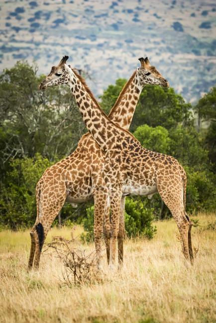 Vista panoramica delle giraffe masai che attraversano il collo nella natura selvaggia preservare — Foto stock