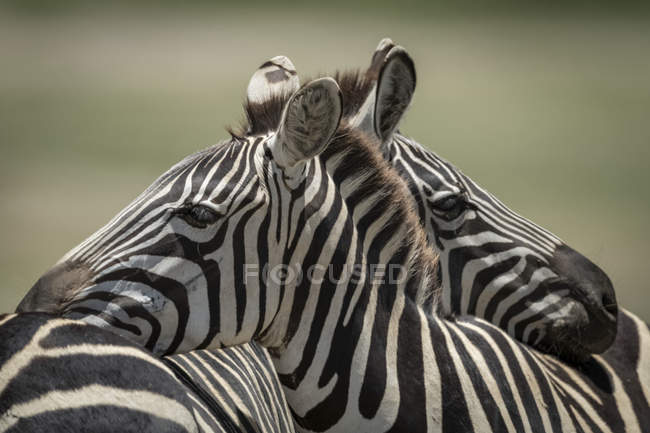 Close-up of Plains zebra resting on another at wild life — Stock Photo