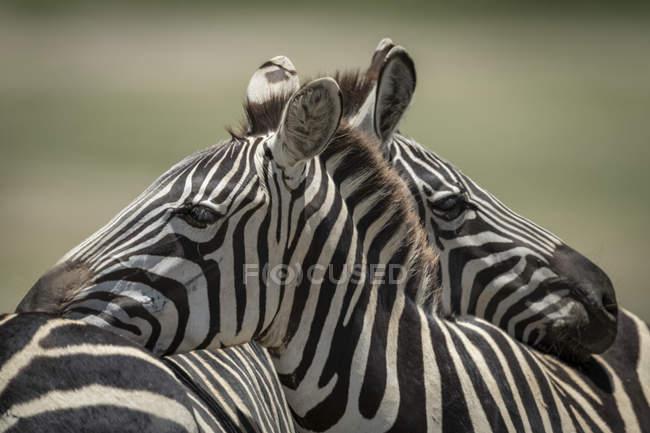 Plan rapproché du zèbre de plaines se reposant sur un autre à la vie sauvage — Photo de stock