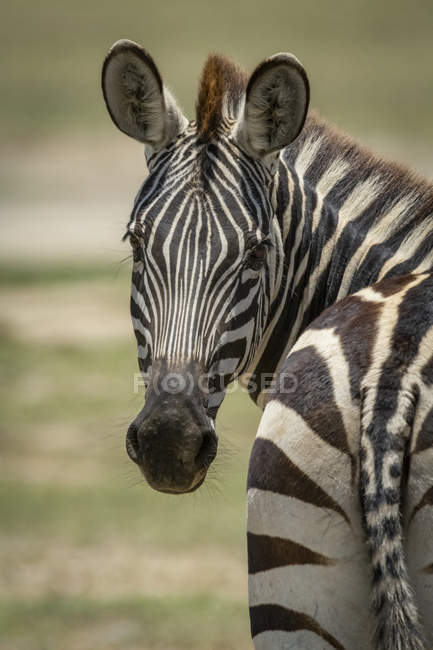 Close-up of Plains zebra turning towards camera at wild life — стоковое фото