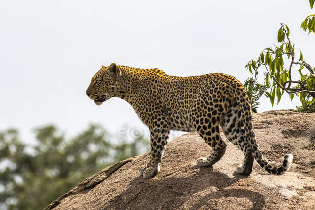 Scenic view of majestic leopard in wild nature on rock — Stock Photo