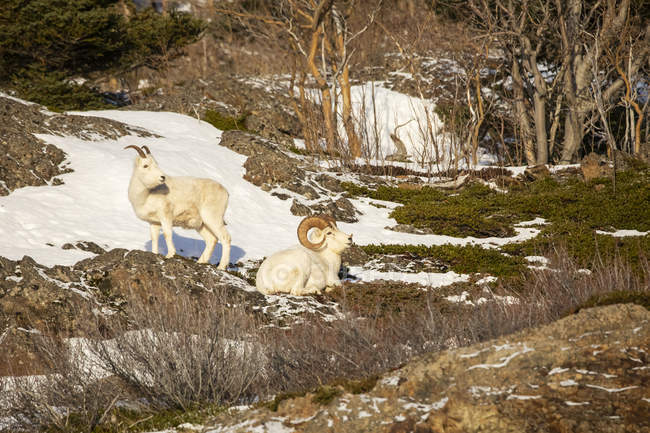 Dall sheep rams with ewe at wild nature, Denali National Park and Preserve, Alaska, United States of America — стоковое фото