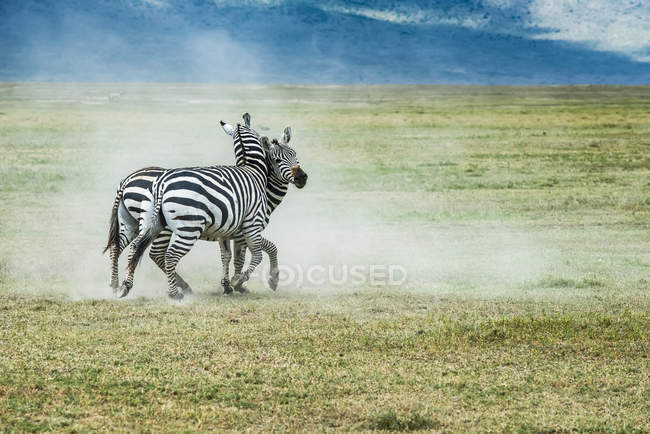 Two zebras fighting in field at wild life — Stock Photo