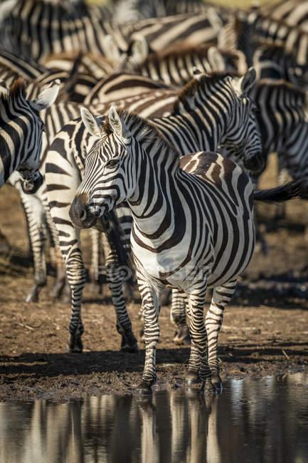 Plains zebra occhio macchina da pozzanghera alla vita selvaggia — Foto stock