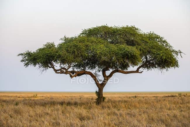 Árbol de acacia solitario en el borde de la llanura de Katavi en el Parque Nacional Katavi, Tanzania - foto de stock