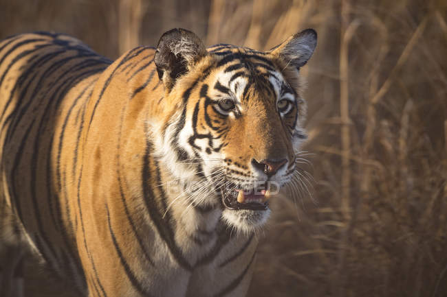 Opinião do close up do tigre de Bengal majestoso — Fotografia de Stock