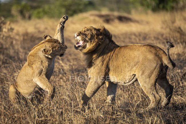Majestic lioness or panthera leo at wild life with cub in grass — Stock Photo