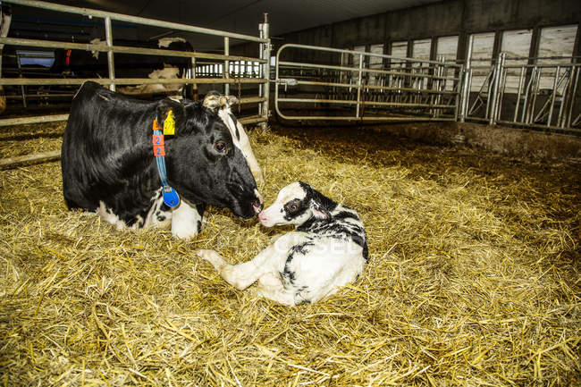 La vache Holstein avec son veau nouveau-né dans un enclos dans une ferme laitière robotisée, au nord d'Edmonton; Alberta, Canada — Photo de stock
