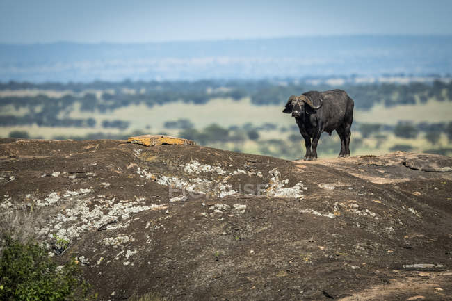 Cape buffalo or Syncerus caffer standing on horizon on rock, Serengeti National Park, Tanzania — Stock Photo
