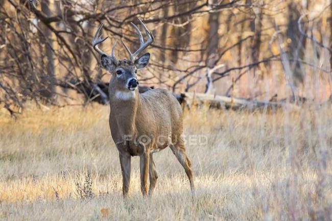 Білоспинний олень або Odocoileus virginianus buck стоячий на трав'яному полі, Денвер, Колорадо, США — стокове фото