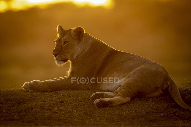 Majestic lioness or panthera leo at wild life lying against sunset — Stock Photo