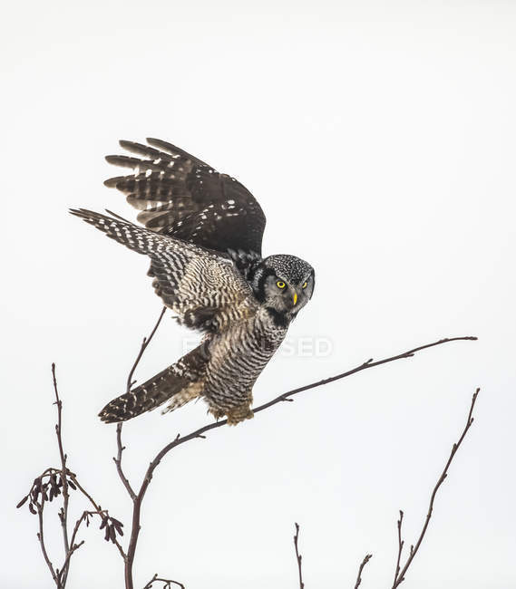 Scenic view of perched Northern Hawk Owl on tree — Stock Photo