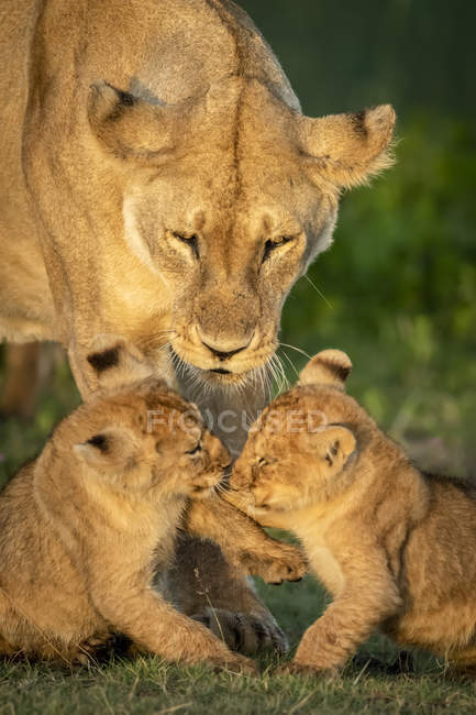 Majestic lioness or panthera leo at wild life with cubs — Stock Photo