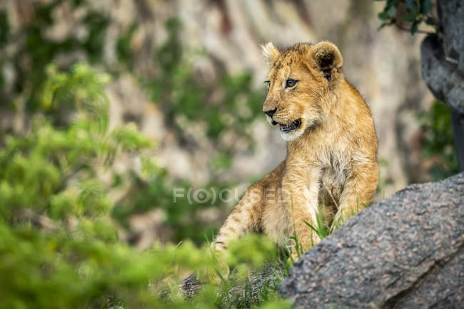 Majestic male lion in wild nature — Stock Photo