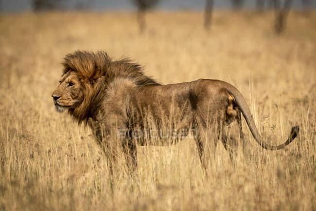 Majestätischer männlicher Löwe in wilder Natur im Gras — Stockfoto
