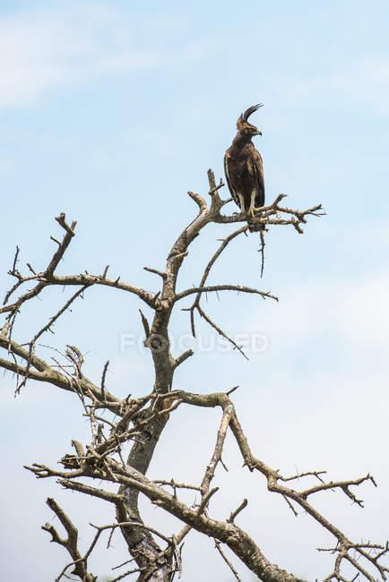 Длиннохвостый орел (Lophaetus occhablis) засел на мертвом месте в районе Ндуту кратера Нгоронгоро на равнине Серенфели; Танзания — стоковое фото