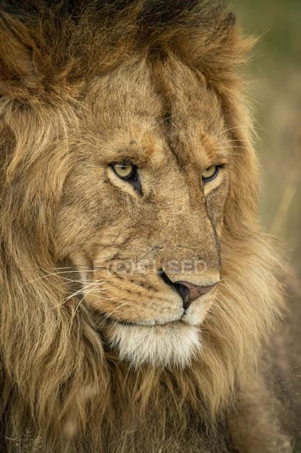 Lion mâle majestueux dans le plan rapproché sauvage de museau de nature sauvage — Photo de stock