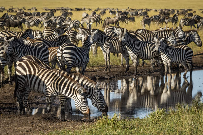 Plains zebra drinking from puddle on track at wild life — Stock Photo